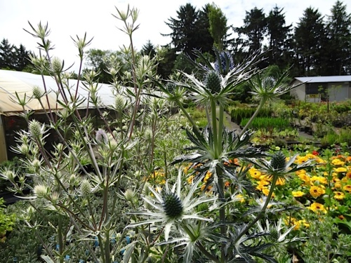 Eryngium 'Jade Frost' and 'Big Blue'