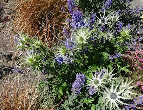 Eryngium 'Sapphire Blue' and Nepeta 'Walker's Low'