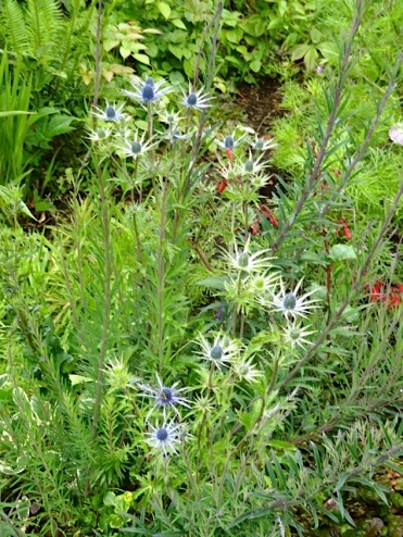 At last is has something to offer: an Eryngium 'Sapphire Blue' in bloom.