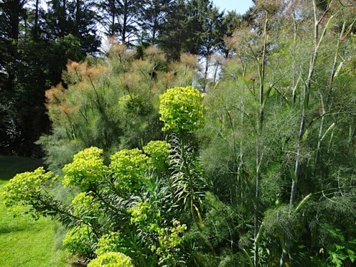 outside: Euphorbia and fennel