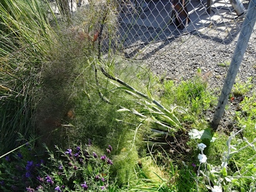 Was this a theft attempt or did the north wind knock this fennel over?
