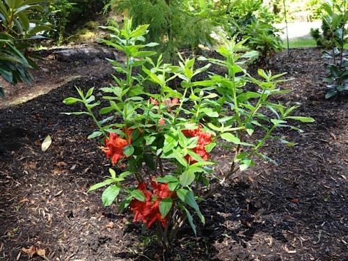 Arneson Flame azalea