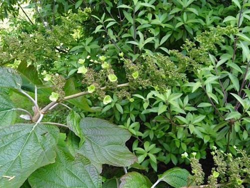 AKA oakleaf hydrangea, just coming into flower