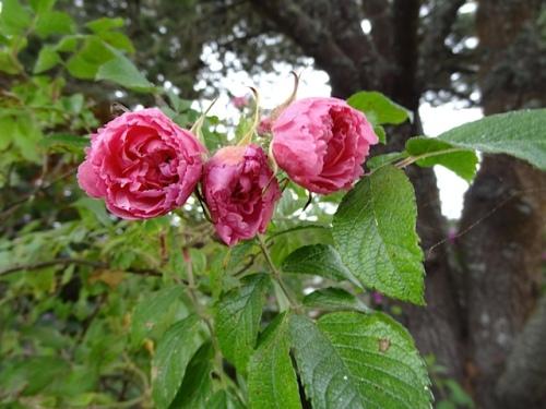 Rosa 'Grootendorst'?