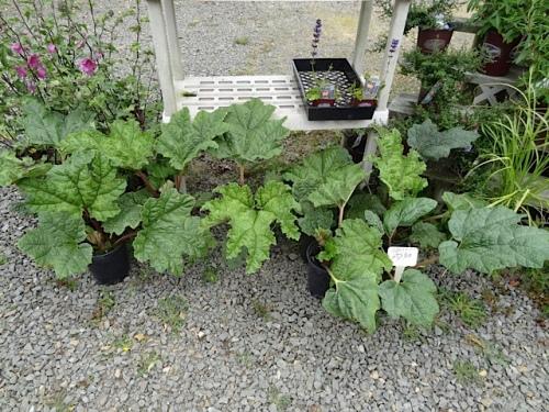 At the Basket Case: gunnera seedlings