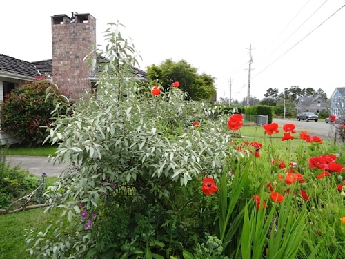 by our driveway: poppy flowers in the Eleagnus