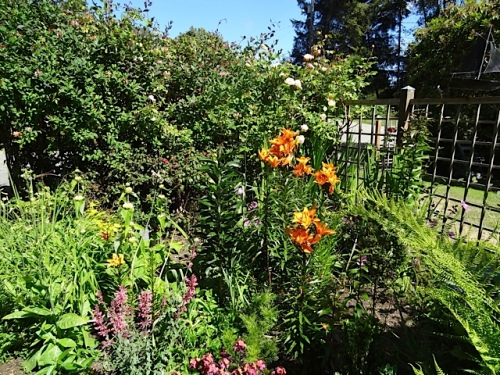 bright orange lilies, bright sunshine