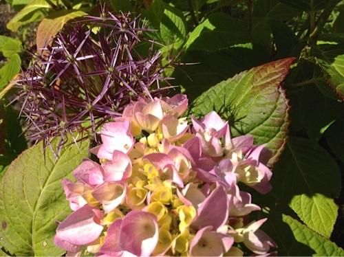 A Frame garden: hydrangea and Allium albopilosum