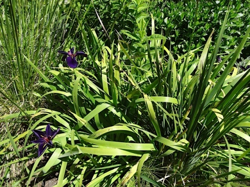 Another iris has pale green strappy foliage.