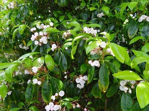 Kalmia flowers