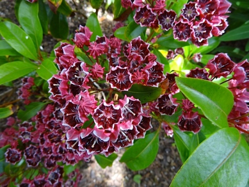 close up Kalmia