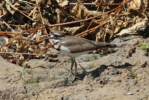 one of the City Works killdeer family