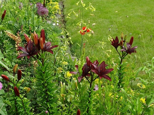 Asiatic lilies:  Landini or Blackout