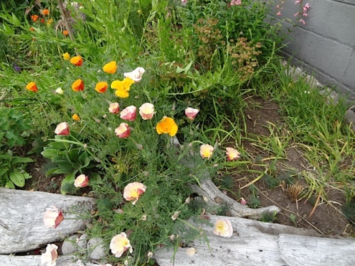 California poppies at the Ilwaco post office