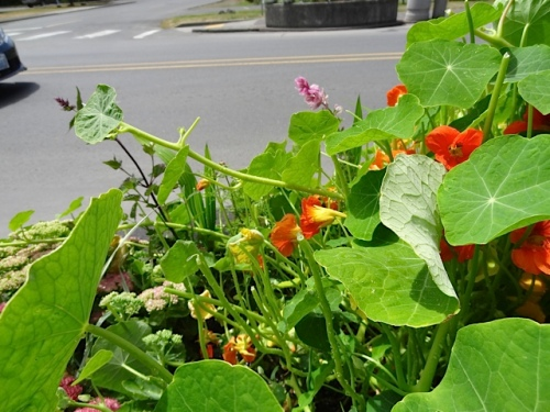 The nasturtiums in the planter by the Coastal Inn on 7th Street are getting nibbled by deer.