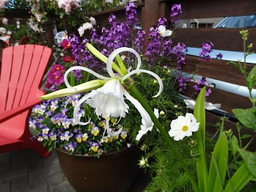 The lone Hymenocallis festalis (Peruvian daffodil)