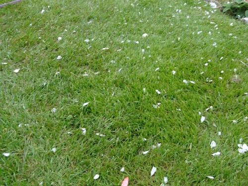 petals strewn across the lawn