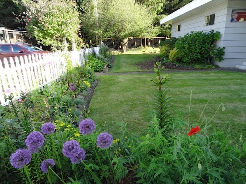 The picket fence garden; today Raymond from the Planter Box had fixed the section of lawn and that had experienced weedkiller overdosing.