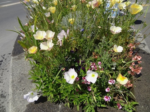 pink Oenothera and California poppies, a complementary combo