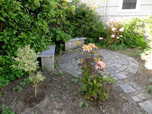 "The pink hydrangeas in the ""Zen courtyard"" are enjoying the new mulch and Beth's weeding job, and look much better than last year."