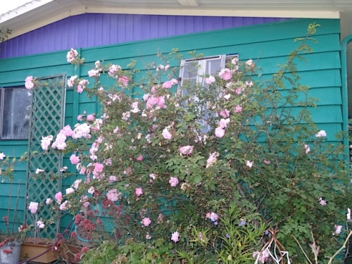 old pink rose by the house