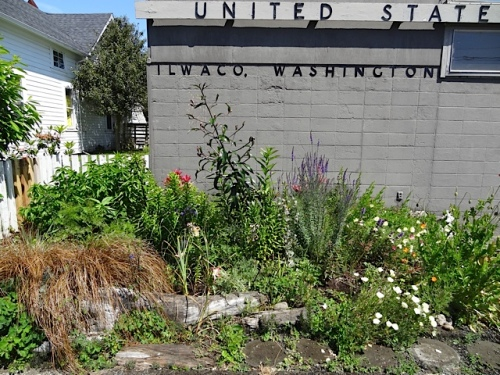 We watered the post office garden....so dry from the wind (even though it is sheltered by the building).