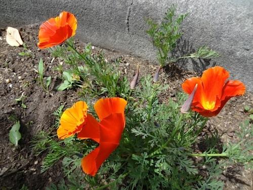 'Copper Pot' California poppy under a street tree