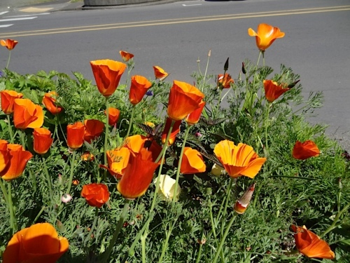 burnt orange California poppies