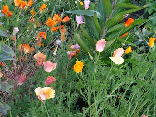 Owner Sondra is in the know that California poppies don't just come in orange.