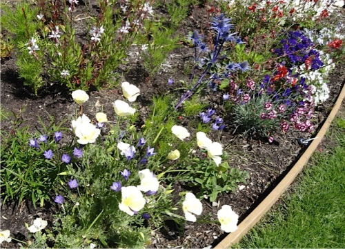 I'm glad the 'White Linen' California poppies are doing well.