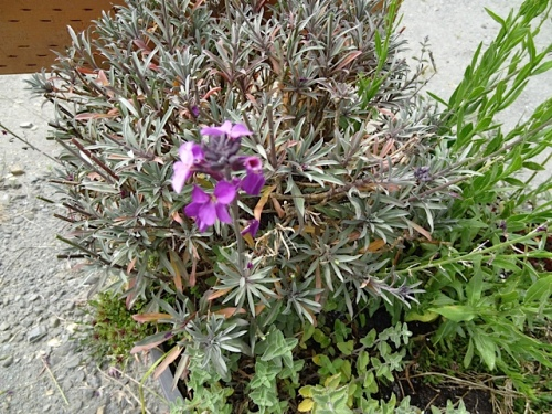 The reddish dry leaves of this Erysimum had screamed out to me.  I am not sure it will revive; it may need to be replaced.