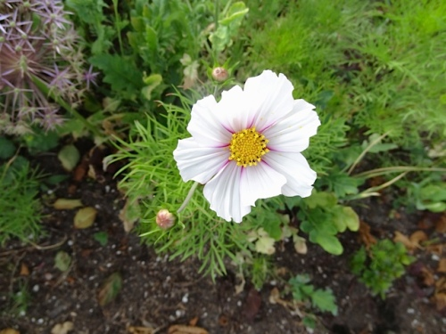 one of the cosmos that reseeded from last year