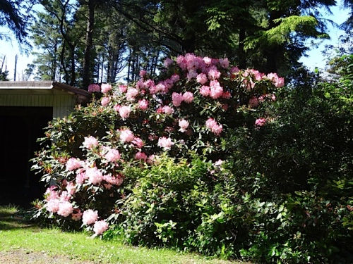 The pink rhododendron by where we park at Joanie's Cottage is still blooming.