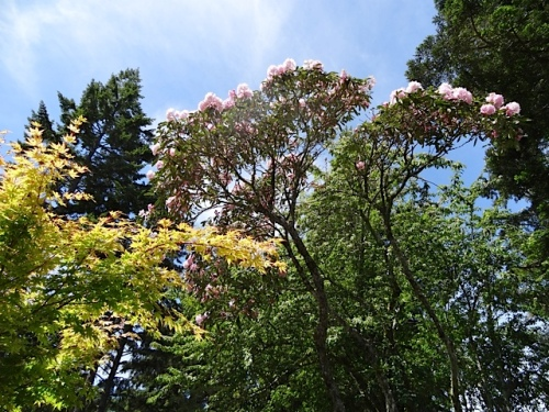 looking up at that rhododendron