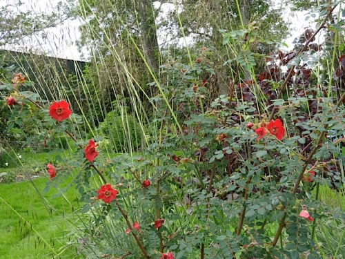 Rosa moyesii and Stipa gigantea