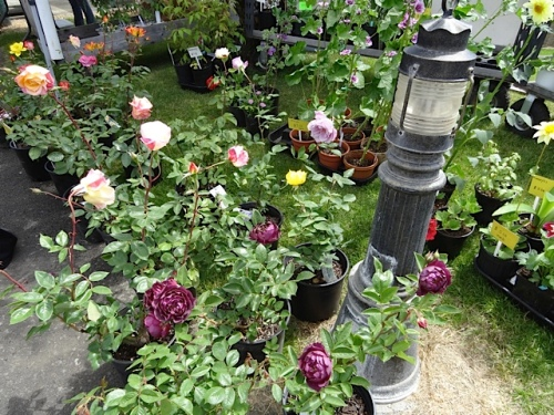 roses at a plant booth