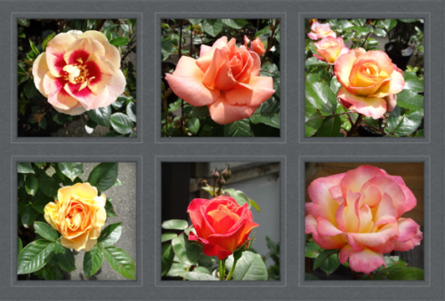 an assortment of lovely roses