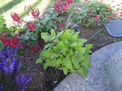 I was thrilled to see that Salvia patens, a tender perennial, has returned in the flag plaza garden.