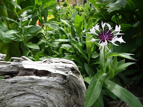 white Centaurea and driftwood