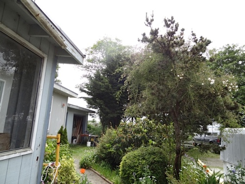 We did not have time today, but soon we must cut back this climbing rose so it does not smother the tree...soon enough so it will put out new growth for next year.