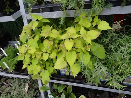 Agastache 'Golden Jubilee' for only $1.79!