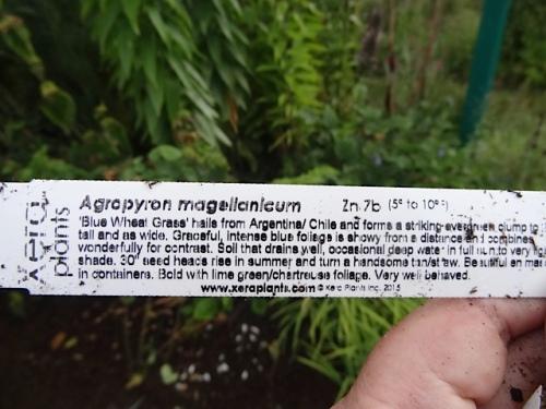 agopyron
