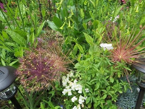 Allium albopilosum and schubertii