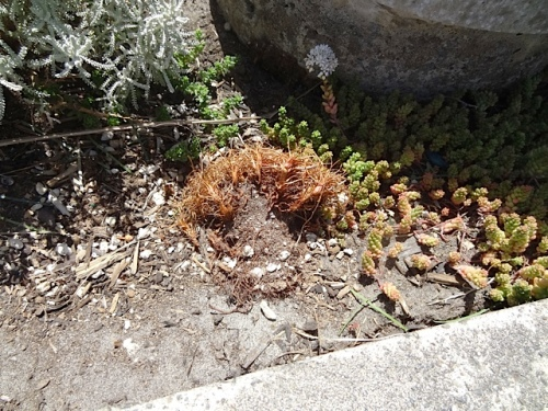 another planter with armeria (sea thrift) torn out and left to die.  This is human, not deer, damage.
