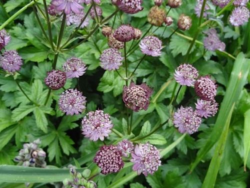 an astrantia for Mr. Tootlepedal