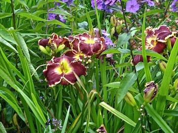 daylilies3