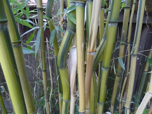 by the pagoda, against the fence, just the kind of bamboo that I want...
