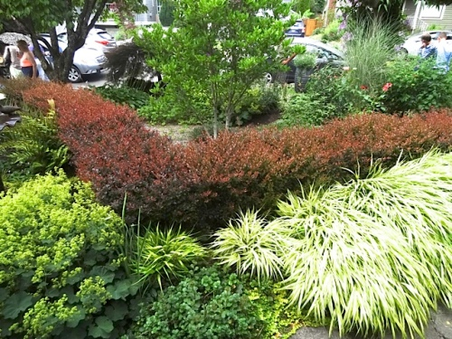 barberry hedge in front garden