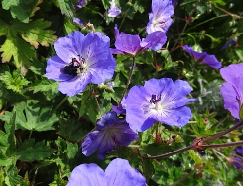 in a planter: Geranium 'Rozanne' with bee