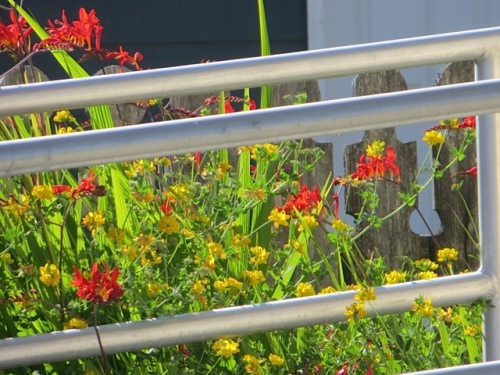 the birds foot trefoil is as beautiful as the crocosmia, too bad it is seen as a weed here.